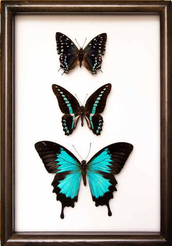 "New ""Out of the Blue"" Collection Trio blue 21x30 on black frame, Butterfly Frame - Insect Frame UK, Insect Frame UK"