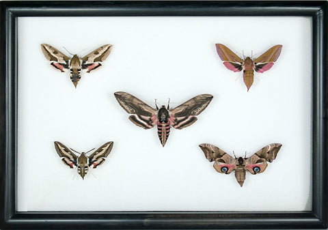 British Hawkmoths Black, Moth Frame - Insect Frame UK, Insect Frame UK  - 2