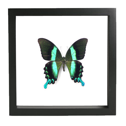 Peacock Blumei Fiberboard 25x25 black, Butterfly Frame - Insect Frame UK, Insect Frame UK  - 3