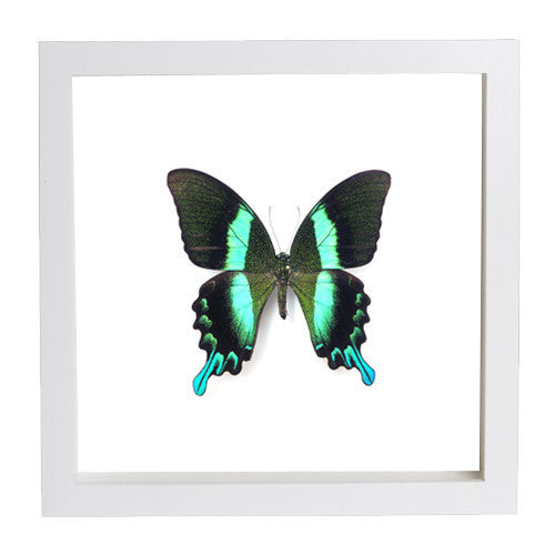 Peacock Blumei Fiberboard 25x25 white, Butterfly Frame - Insect Frame UK, Insect Frame UK  - 5