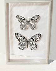 Tree Nymph Butterfly Solid wood Double glass 25x35 white, Butterfly Frame - Insect Frame UK, Insect Frame UK  - 3