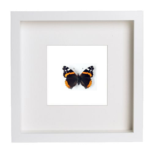 Red Admiral Butterfly White Frame - White Background, Butterfly Frame - Insect Frame UK, Insect Frame UK  - 2