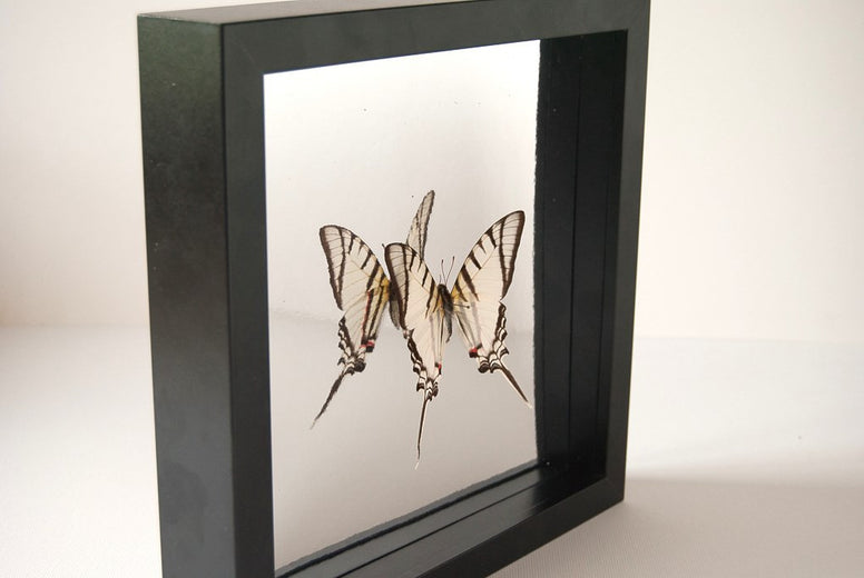 Red Spots Eurytides Eurytides Red spot Black frame Reflecting background, Butterfly Frame - Insect Frame UK, Insect Frame UK  - 1