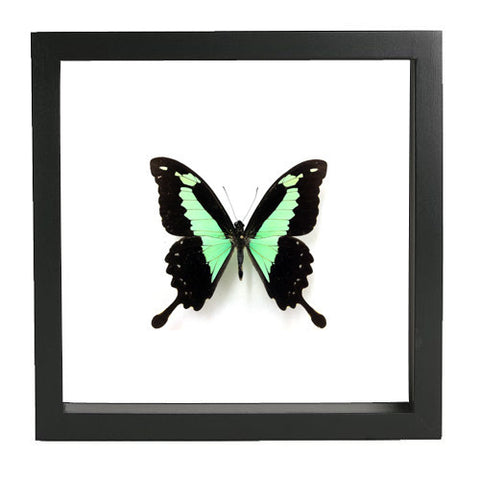 Framed Green Swallowtail Butterfly Black Frame - White Background, Butterfly Frame - Insect Frame UK, Insect Frame UK  - 1