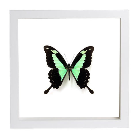 Framed Green Swallowtail Butterfly White Frame - White Background, Butterfly Frame - Insect Frame UK, Insect Frame UK  - 2