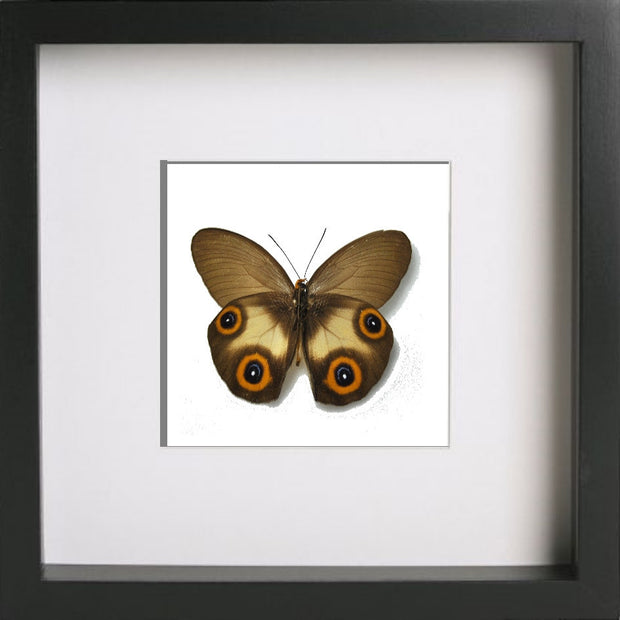 Framed Silky Owl Black Frame, Butterfly Frame - Insect Frame UK, Insect Frame UK  - 1