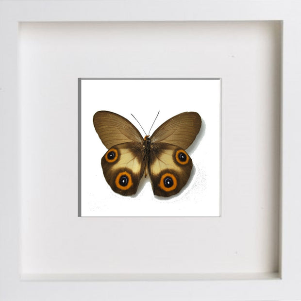 Framed Silky Owl White Frame, Butterfly Frame - Insect Frame UK, Insect Frame UK  - 3