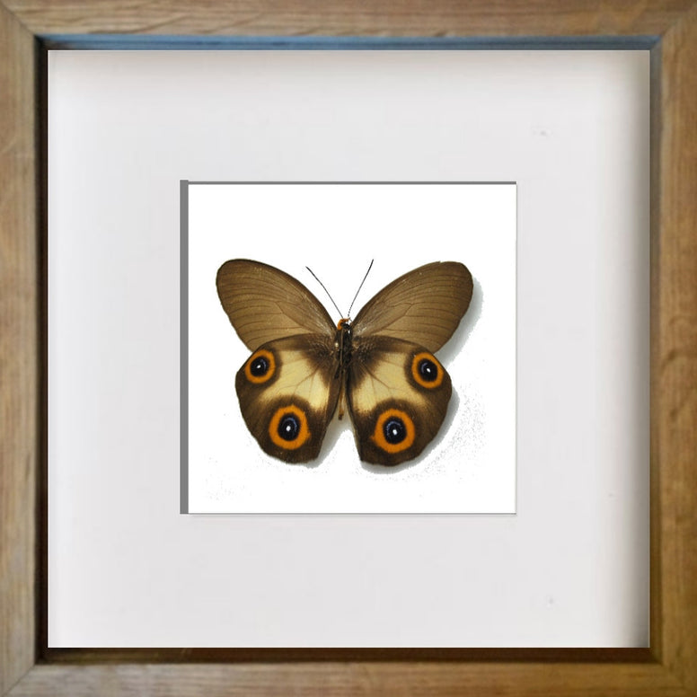 Framed Silky Owl Oak Frame, Butterfly Frame - Insect Frame UK, Insect Frame UK  - 2