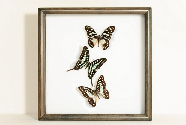 Graphium Butterflies graphium black frame, Butterfly Frame - Insect Frame UK, Insect Frame UK  - 1