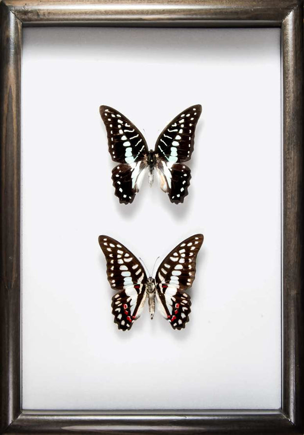 The Great Jay Solid wood 21x30x5 black, Butterfly Frame - Insect Frame UK, Insect Frame UK  - 1