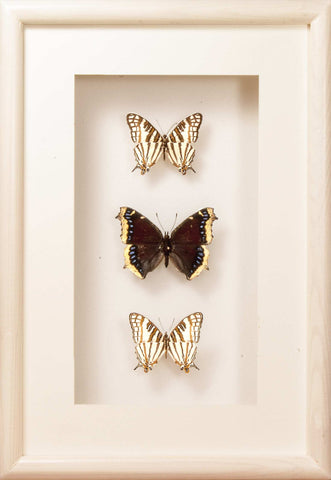 Golden Beauty of Nature Butterflies Cyrestis - Nymphalis white, Butterfly Frame - Insect Frame UK, Insect Frame UK  - 1