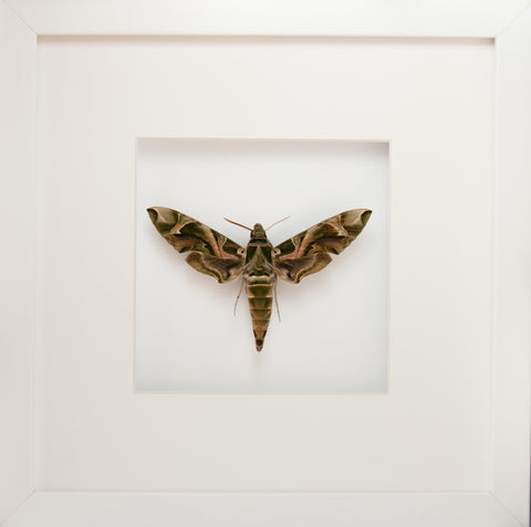 Army Green Moth Daphnis nerii White Frame, Moth Frame - Insect Frame UK, Insect Frame UK  - 2