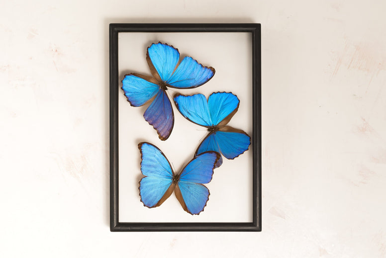 Take the Plunge - A Morpho Didius Collection - Insect Frame UK