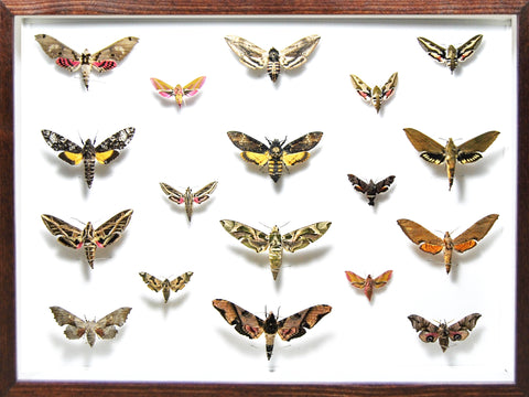 Death's head Hawk Moth Collection Dark wood, Natural History Collection - Insect Frame UK, Insect Frame UK  - 1