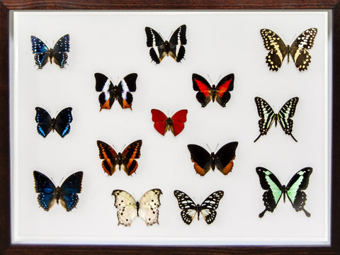 Sangaris Grand Collection - Insect Frame UK