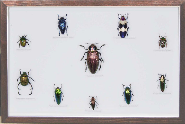 Beetles Collection - Insect Frame UK