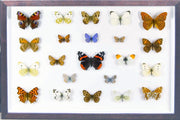 British Butterflies collection 26x39, Natural History Collection - Insect Frame UK, Insect Frame UK  - 3