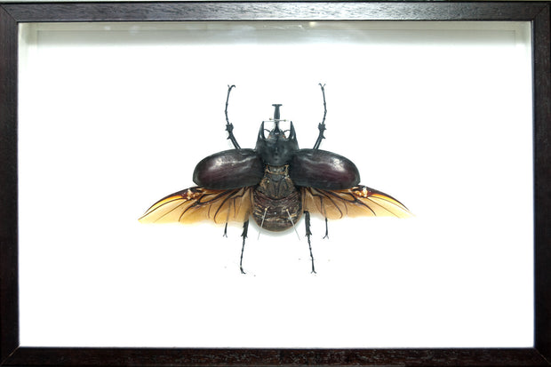 Megasoma Actaeon Beetle Real Megasoma Acteon on walnut frame, Beetle Frame - Insect Frame UK, Insect Frame UK  - 1
