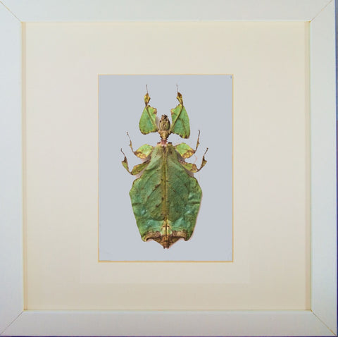 Giant Leaf Insect Type B 25x25 white, Insect Frame - Insect Frame UK, Insect Frame UK  - 3