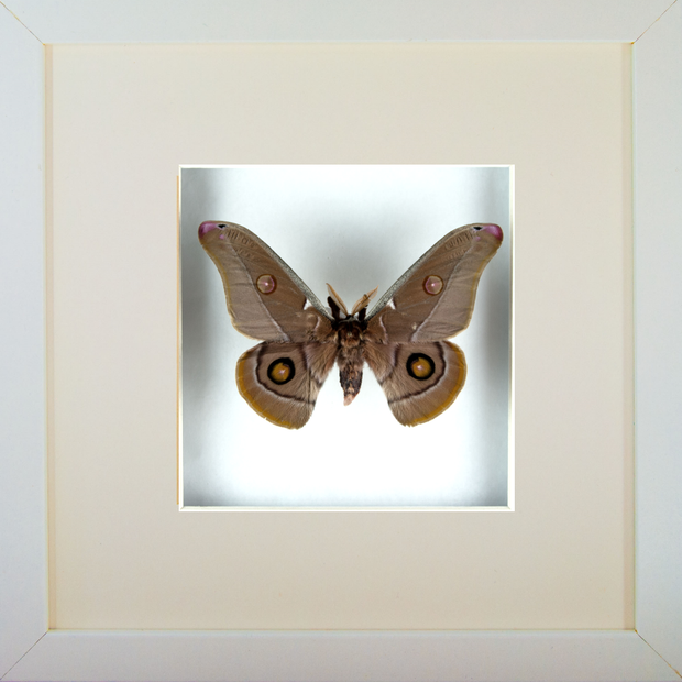 Emperor Gum Silkmoth White Frame - White Background, Moth Frame - Insect Frame UK, Insect Frame UK  - 3