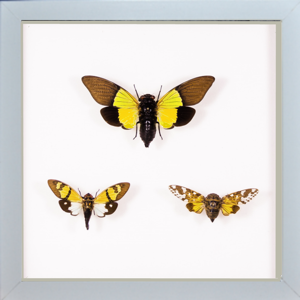 Colored Cicadas Trittico - Insect Frame UK