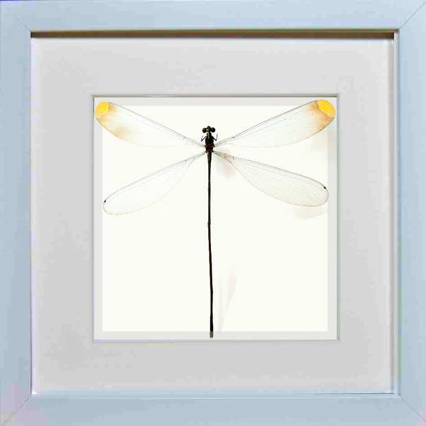 Giant Damselfly White Frame - White Background, Insect Frame - Insect Frame UK, Insect Frame UK  - 1