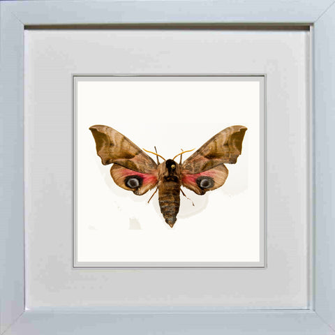 Eyed Hawk Moth White frame, Moth Frame - Insect Frame UK, Insect Frame UK  - 2