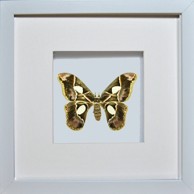 Rothschildia Moth Rothschildia on white, Moth Frame - Insect Frame UK, Insect Frame UK  - 2