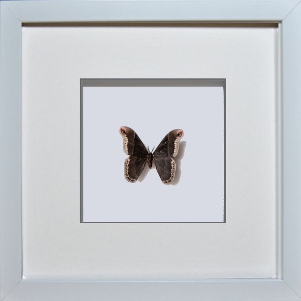 Silky Hawk Moth White Frame - White Background, Moth Frame - Insect Frame UK, Insect Frame UK  - 4