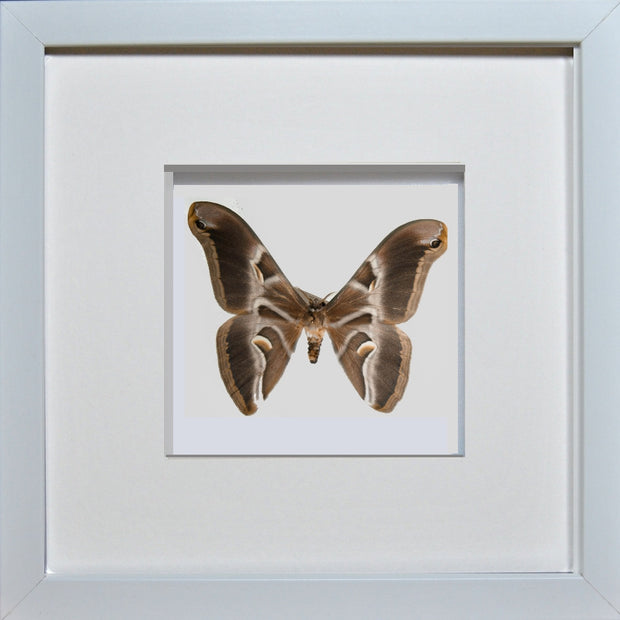 Ailanthus Silkmoth White Frame - White Background, Moth Frame - Insect Frame UK, Insect Frame UK  - 4