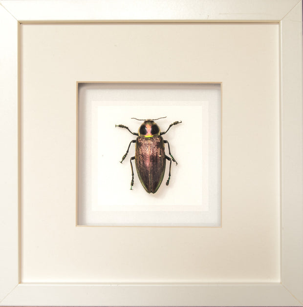 Giant Metallic Ceiba Borer Giganten Beetle framed black or white, Beetle Frame - Insect Frame UK, Insect Frame UK  - 1