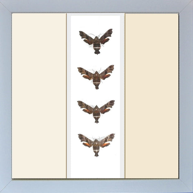 Nessus Sphinx - Insect Frame UK