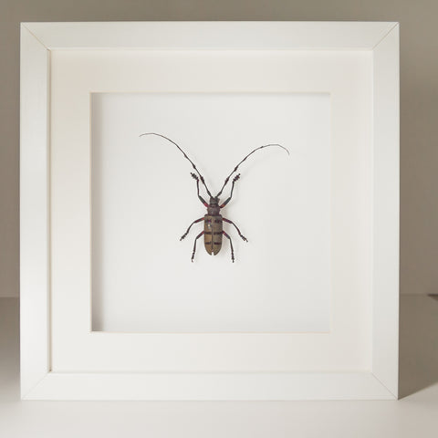 Diastocera Wallichi DIASTOCERA WALLICHI White frame and Background, Beetle Frame - Insect Frame UK, Insect Frame UK  - 1