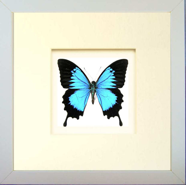 Blue Mountain Fiberboard 25x25 white, Butterfly Frame - Insect Frame UK, Insect Frame UK  - 5