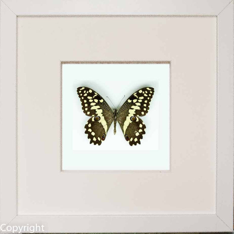Framed Citrus Swallowtail - Insect Frame UK