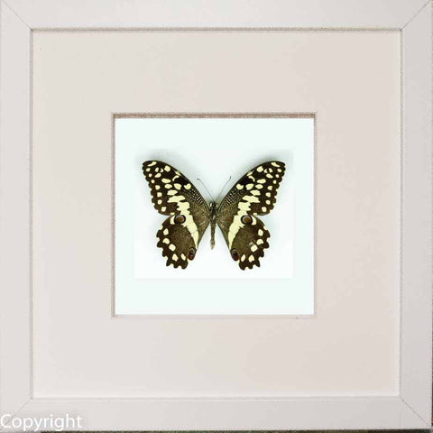 Framed Citrus Swallowtail White Frame - white background, Butterfly Frame - Insect Frame UK, Insect Frame UK  - 1