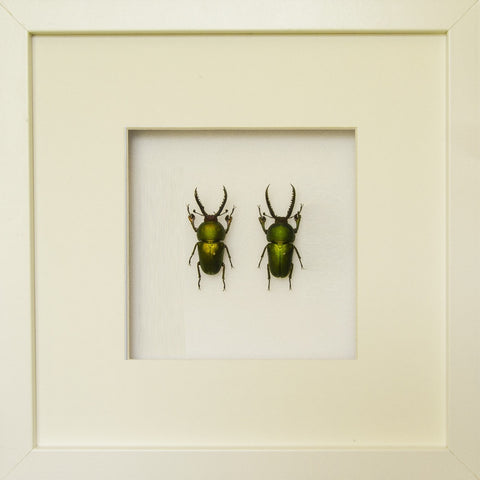Lamprima Adolphinae Pair - Insect Frame UK