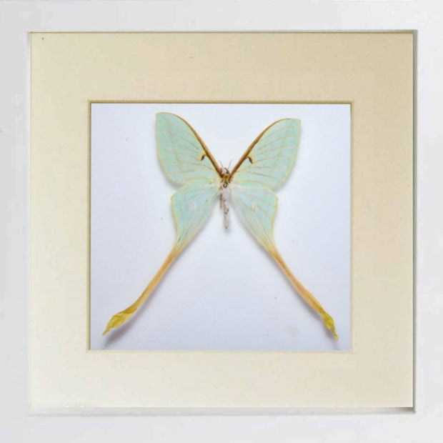 Actias Dubernardi Moon Moth White Frame - White Background, Moth Frame - Insect Frame UK, Insect Frame UK  - 3