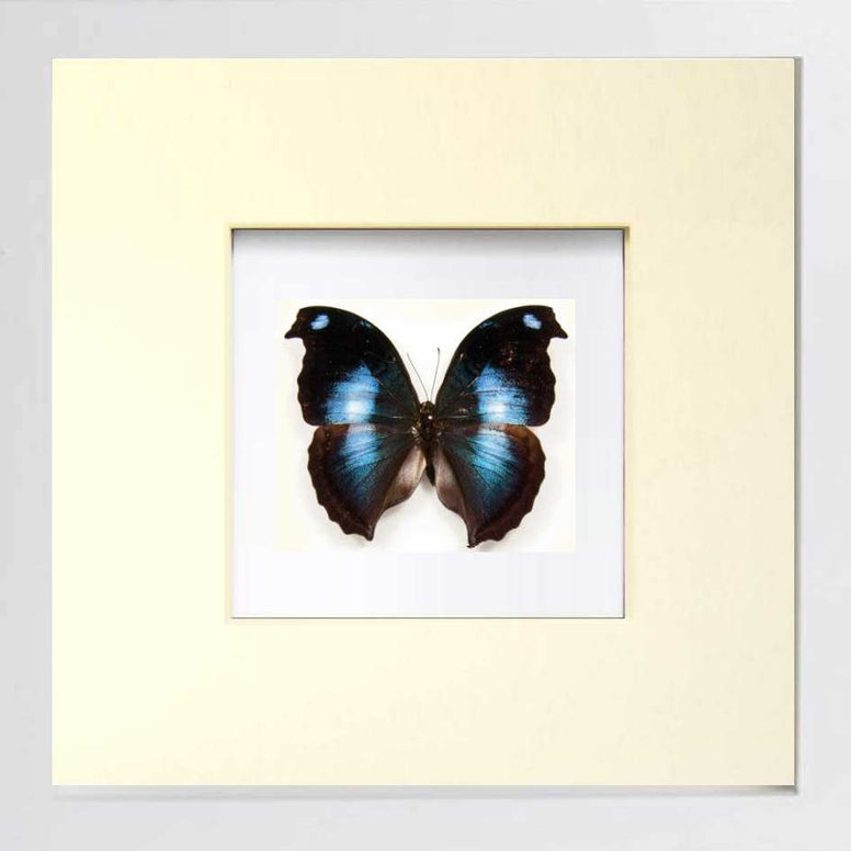 Great Blue Hookwing - Insect Frame UK