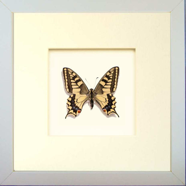 Papilio Machaon Gorganus Fiberboard 25x25x4,5 White, Butterfly Frame - Insect Frame UK, Insect Frame UK  - 4