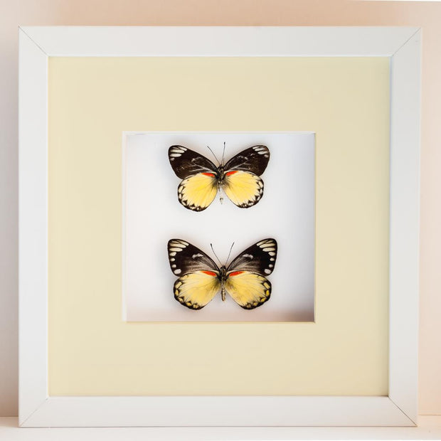 Delias Belisama White Frame - White Background, Butterfly Frame - Insect Frame UK, Insect Frame UK  - 1