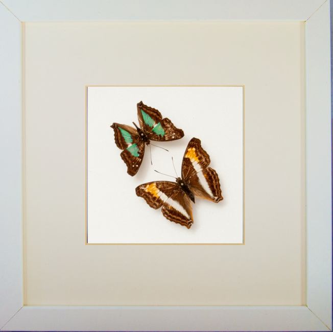 Tango Argentino White Frame, Butterfly Frame - Insect Frame UK, Insect Frame UK  - 1