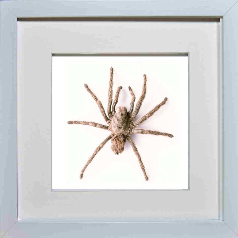 Chilean Rose Tarantula - Insect Frame UK