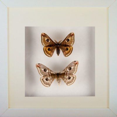 Emperor Silkmoths Couple - Insect Frame UK