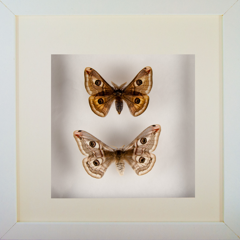 Emperor Silkmoths Couple Black or white frame, Moth Frame - Insect Frame UK, Insect Frame UK  - 1
