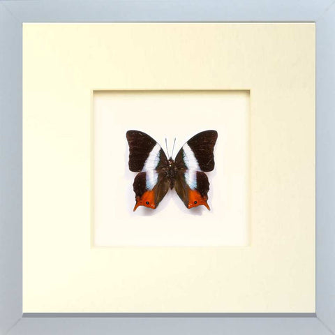 White Banded Palla Fiberboard white, Butterfly Frame - Insect Frame UK, Insect Frame UK  - 2