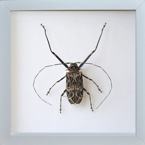 Harlequin Beetle Harlequin Beetle White, Beetle Frame - Insect Frame UK, Insect Frame UK  - 1