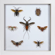 Java Insects Collection - Insect Frame UK