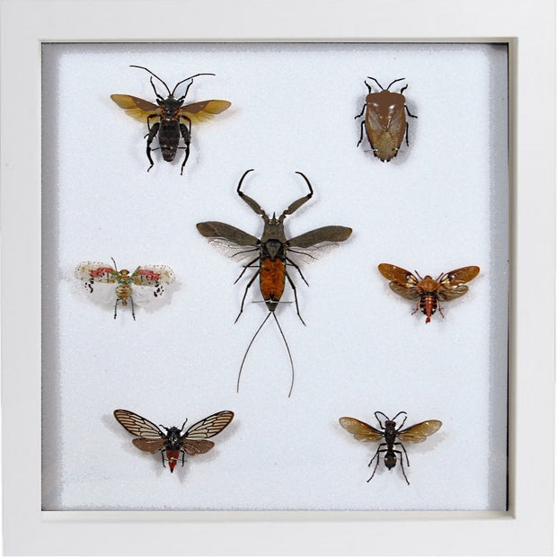 Java Insects Collection Wood 25x25 / White, Insect Frame - Insect Frame UK, Insect Frame UK  - 3
