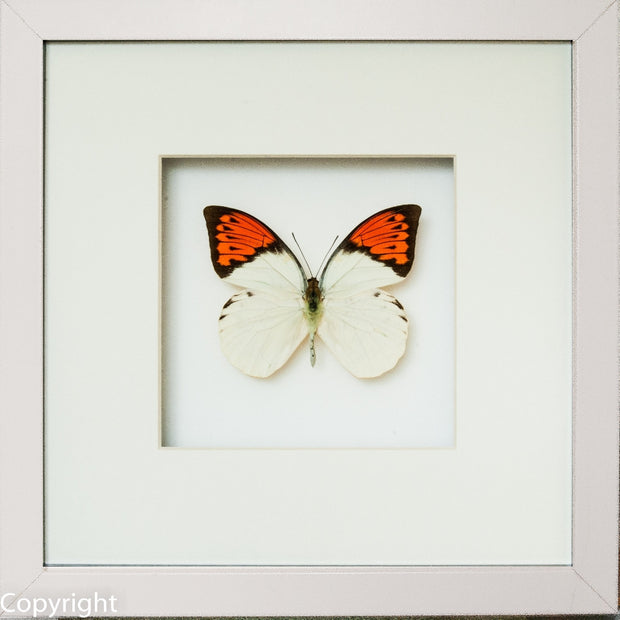 Framed Giant Orange Tip White Frame - White Background, Butterfly Frame - Insect Frame UK, Insect Frame UK  - 1